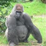 kera Gorilla