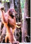 kera orangutan