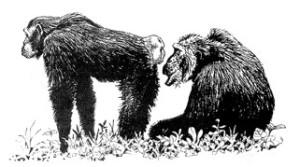 simpanse birahi