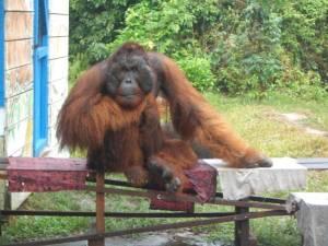 Kusasi Raja Orangutan