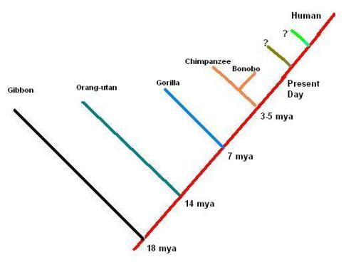 Future Ape Cladogram II