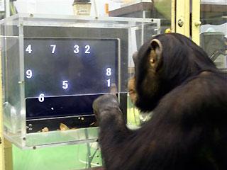 Simpanse bernama Ayumu sedang ditest...