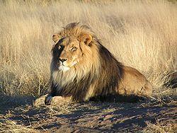 singa jantan