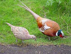 Common Pheasant (Phasianus colchicus). Spesies burung, di mana yang jantan (kanan) bulunya berwarna-warni indah, sementara yang betina bulunya monoton.