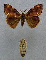 Orgyia recens. Sejenis spesies kupu-kupu. Di mana yang jantan (atas) mempunyai sayap, sementara yang betina (bawah) tidak mempunyai sayap!